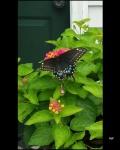 RLF - Butterfly